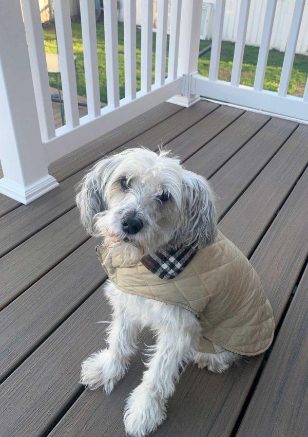 white schnauzer in coat sitting on porch